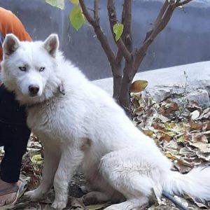 سگ گمشده هاسکی