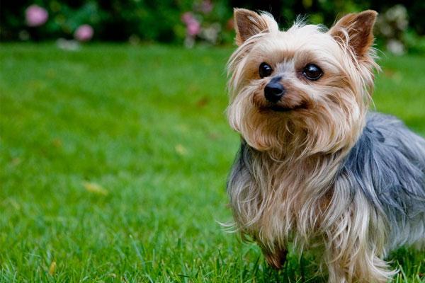 خصوصیات سگ یورکشایر تریر