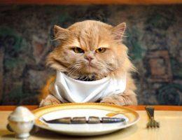 بی اشتها شدن در گربه ها