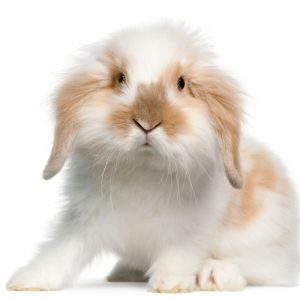 واگذاری رایگان خرگوش