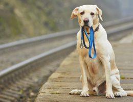 سگ گشمده