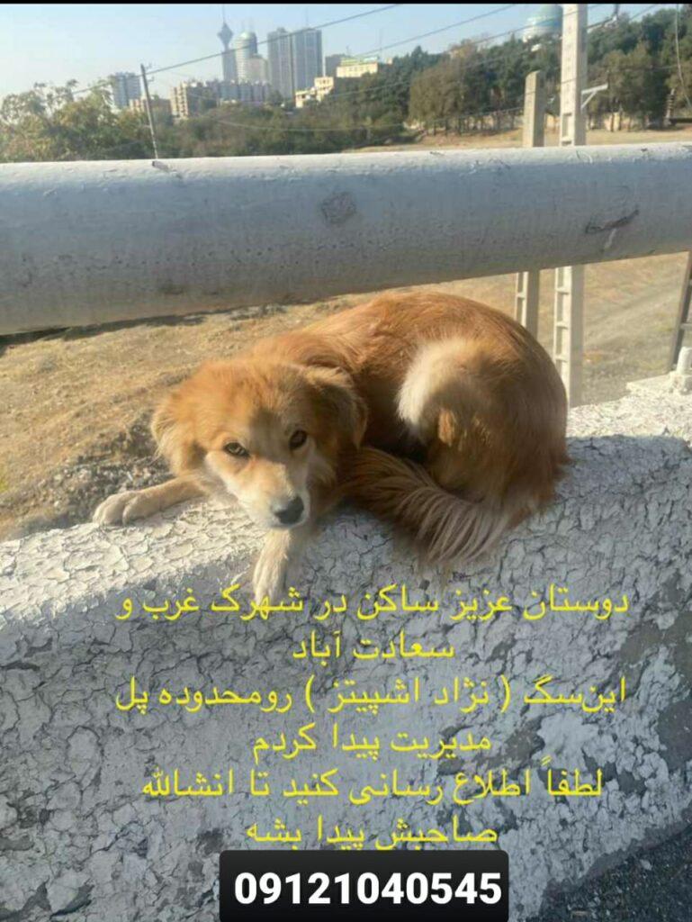 سگ نژاد اشپیتز پیدا شده