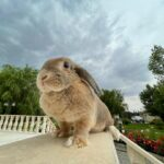خرگوش لوپهلندی